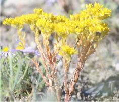 26 - Stonecrop (Idaho)