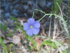 25 - Wild Flax (Idaho)