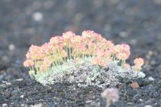 27 - Dwarf Buckwheat (Idaho)