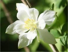 30 - White Columbine (Utah)