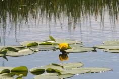 36 - Golden Pond Lily (Idaho)
