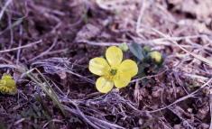 4 - Sagebrush Buttercup (Idaho)