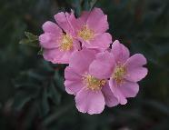 5 - Wild Rose (Home)