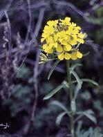 14 - Western Wallflower (Utah)