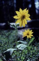 17 - Heart-Leaf Arnica (Idaho)