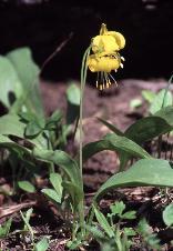 20 - Glacial Lilly (Colorado)